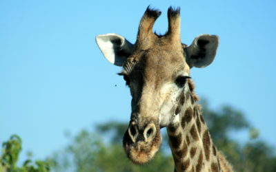 Skóra żyrafy ma do 2cm grubości.