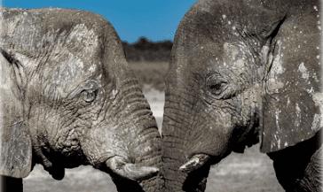 Namibia słonie