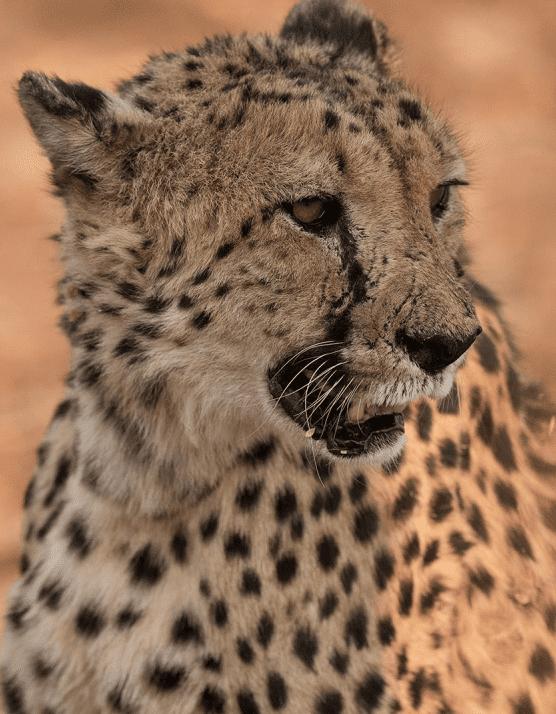 dzikie koty Namibia